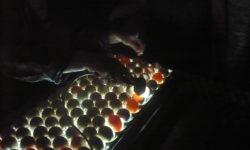 Миражирование яиц с овоскопом